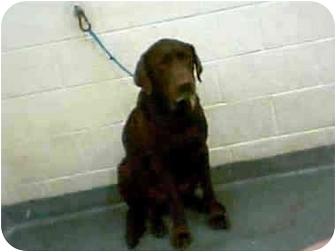 Labrador Retriever Dog for adoption in Pembroke pInes, Florida - Hershey
