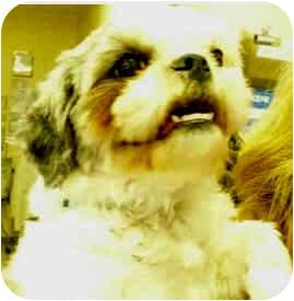 Shih Tzu Dog for adoption in San Clemente, California - LILA