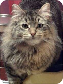 Domestic Longhair Cat for adoption in Sheboygan, Wisconsin - Simba