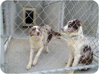 Border Collie Mix Dog for adoption in Grants Pass, Oregon - Camo & Violet