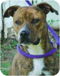Staffordshire Bull Terrier Mix Dog for adoption in Sacramento, California - BONNIE.Small and Sweet