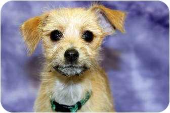 Miniature Pinscher/Terrier (Unknown Type, Small) Mix Puppy for adoption in Broomfield, Colorado - Charlie