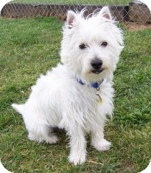 Westie, West Highland White Terrier Dog for adoption in Chambersburg, Pennsylvania - Wesley