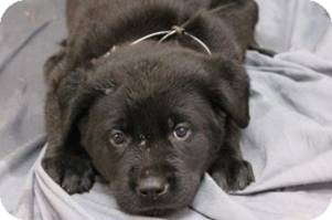 Labrador Retriever Mix Puppy for adoption in Pompton Lakes, New Jersey - Splish