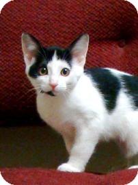 Domestic Shorthair Kitten for adoption in Jackson, Michigan - Harmony