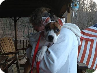 American Staffordshire Terrier Puppy for adoption in Long Beach, New York - Tyler