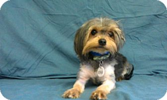 Yorkie, Yorkshire Terrier Mix Dog for adoption in Waldorf, Maryland - Rocks