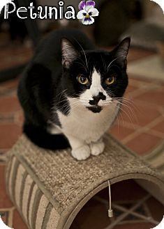 Domestic Shorthair Kitten for adoption in River Edge, New Jersey - Petunia