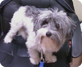 Maltese/Yorkie, Yorkshire Terrier Mix Dog for adoption in Oak Ridge, New Jersey - Rotini