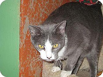 Domestic Shorthair Cat for adoption in Sherman Oaks, California - Smokey