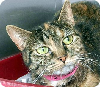 Calico Cat for adoption in Tinton Falls, New Jersey - Lola