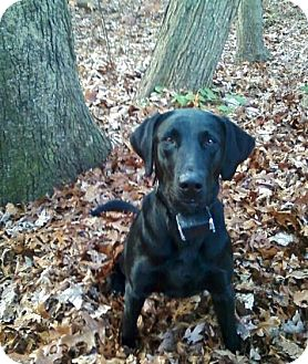 Labrador Retriever Dog for adoption in Deer Park, New York - Beau