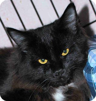 Domestic Mediumhair Kitten for adoption in Morganton, North Carolina - Chester
