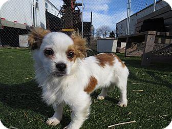 Cavalier King Charles Spaniel Mix Puppy for adoption in Meridian, Idaho - Tango