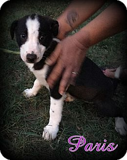 Border Collie/Retriever (Unknown Type) Mix Puppy for adoption in Denver, North Carolina - Paris