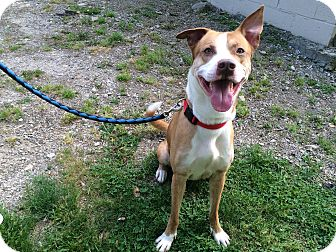 Akita Mix Dog for adoption in New Castle, Pennsylvania - Ace