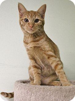 Domestic Shorthair Kitten for adoption in Murphysboro, Illinois - Jazzy