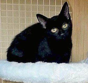 Domestic Shorthair Kitten for adoption in Brooklyn, New York - Gulliver