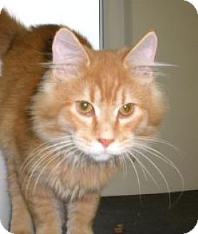 Domestic Longhair Cat for adoption in Knoxville, Iowa - Leo