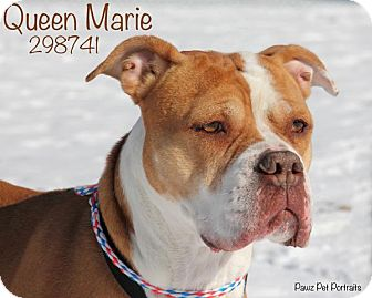 English Bulldog/Boxer Mix Dog for adoption in Troy, Michigan - Queen Marie