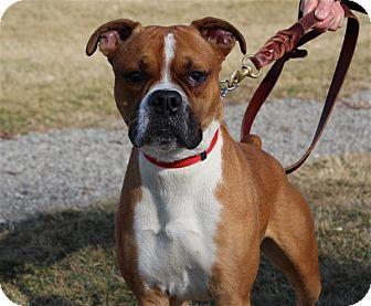Boxer Mix Dog for adoption in Elyria, Ohio - Colt