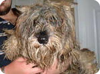 Miniature Schnauzer Dog for adoption in Memphis, Tennessee - LEO