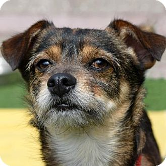 Terrier (Unknown Type, Small) Mix Dog for adoption in Denver, Colorado - Wolfy