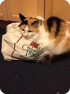 Domestic Longhair Cat for adoption in Augusta, Maine - Sugar