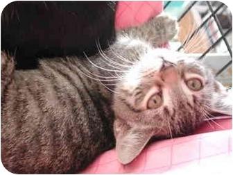 Domestic Shorthair Kitten for adoption in Fort Lauderdale, Florida - Gianna