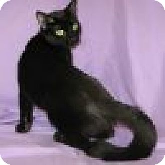 Domestic Shorthair Cat for adoption in Powell, Ohio - Ariel