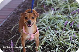 Chihuahua/Jack Russell Terrier Mix Dog for adoption in Manassas, Virginia - Winnie
