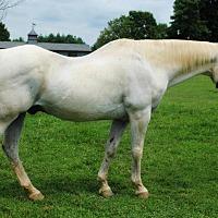 Quarterhorse Mix for adoption in Lovettsville, Virginia - Bruno