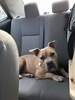 American Pit Bull Terrier/American Bulldog Mix Dog for adoption in Valley Stream, New York - Washington