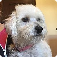 Adopt A Pet :: Abigail - Scottsdale, AZ