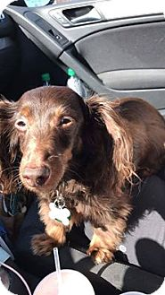 Dachshund Mix Dog for adoption in Hamilton, Ontario - Ziggy