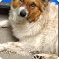 Adopt A Pet :: Senga-ADOPTION PENDING - Boulder, CO