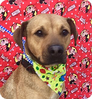 Staffordshire Bull Terrier/Labrador Retriever Mix Dog for adoption in Santa Monica, California - RAMSES