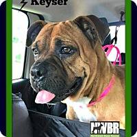 Adopt A Pet :: Keyser - Woodinville, WA