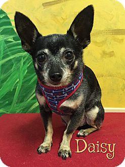 Chihuahua Mix Dog for adoption in Savannah, Georgia - Daisy 3