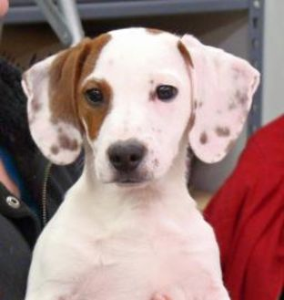 Beagle/Jack Russell Terrier Mix Dog for adoption in Greenfield, Indiana - Scout