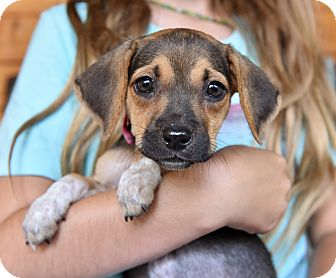 Beagle/Chihuahua Mix Puppy for adoption in San Diego, California - Lolly