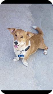 Corgi Mix Dog for adoption in Mesa, Arizona - CHAPO - 1 YR CORGI MALE