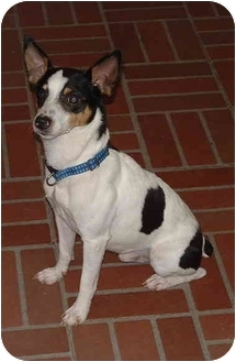 Rat Terrier Mix Dog for adoption in Honesdale, Pennsylvania - Peanut