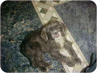Yorkie, Yorkshire Terrier/Shih Tzu Mix Puppy for adoption in Cathedral City, California - Elliot & Stricker