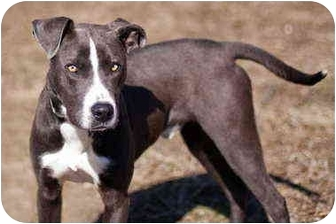 Blue Lacy/Texas Lacy/Boxer Mix Dog for adoption in Austin, Texas - Casper