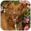 Photo 1 - American Pit Bull Terrier/American Staffordshire Terrier Mix Dog for adoption in El Segundo, California - Elsie