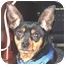 Photo 1 - Miniature Pinscher Dog for adoption in Pelzer, South Carolina - Musketeer Moe
