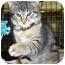 Photo 1 - Domestic Shorthair Kitten for adoption in Overland Park, Kansas - Matt