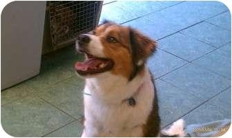 St. Bernard/Bernese Mountain Dog Mix Puppy for adoption in Preston, Connecticut - Sir Puddles