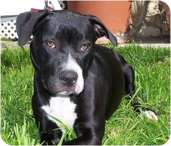 Cane Corso/American Pit Bull Terrier Mix Puppy for adoption in Hermosa, California - IceBaby